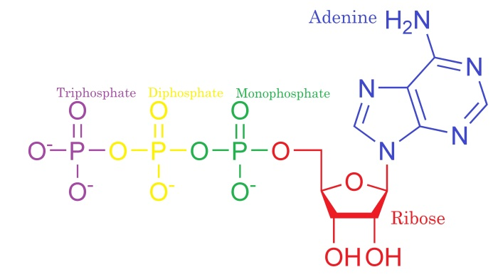 atp structure adapted ...
