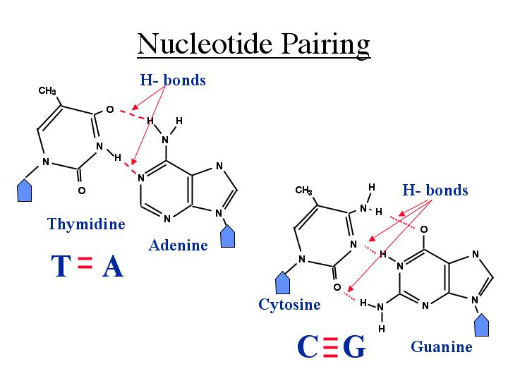 Nucleotide Bases 301 Moved Permanently